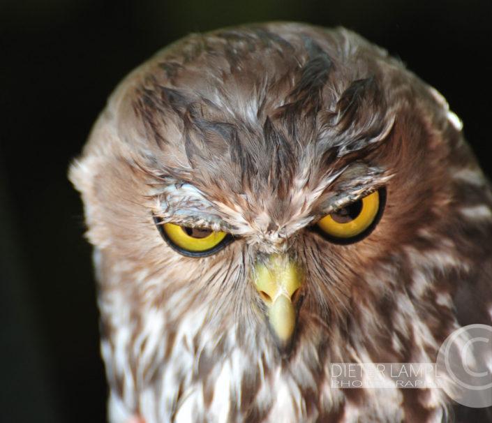 Naturfotografie von Tieren: Evil Owl