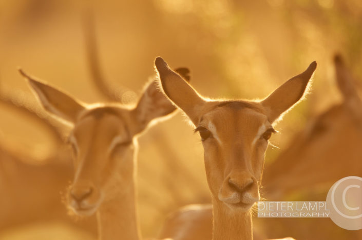 Naturfotografie von Tieren: Golden Impalas Botswana