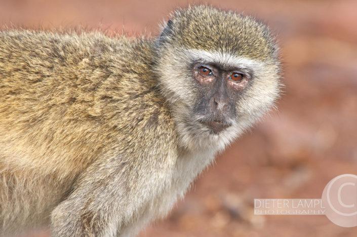 Naturfotografie von Tieren: Vervet Monkey Botswana