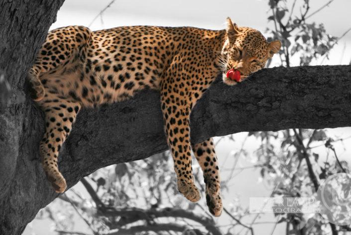 Naturfotografie von Tieren: Leopard Botswana