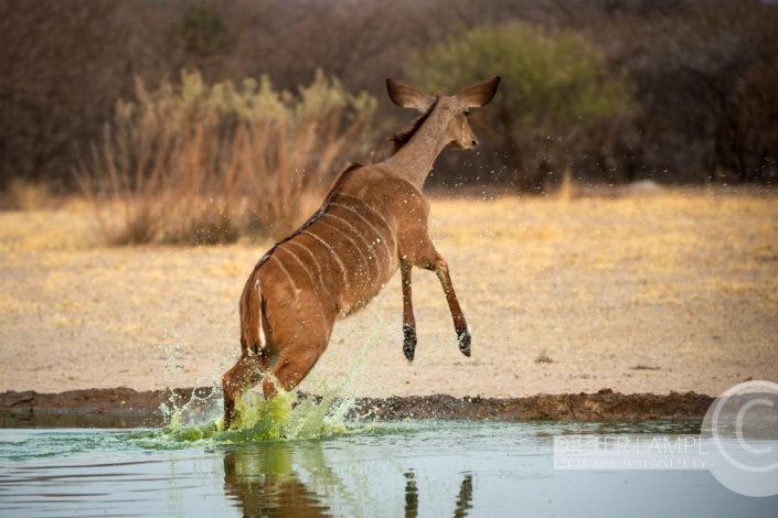 Naturfotografie von Tieren: Kudu Namibien