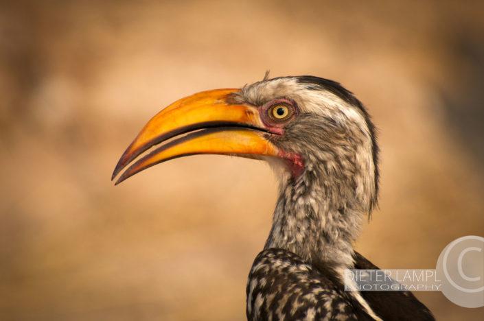 Naturfotografie von Tieren: Hornbill Namibien