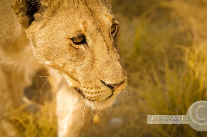 Naturfotografie von Tieren: Löwin Closeup Namibien