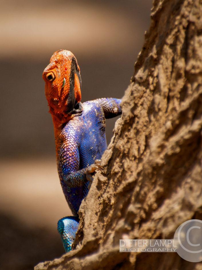 Naturfotografie von Tieren: Rock Agama Lizard Tansania